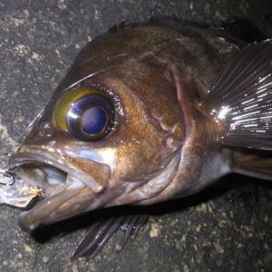 釣行 メバル244[ 内房 ] オールナイトウォーキング