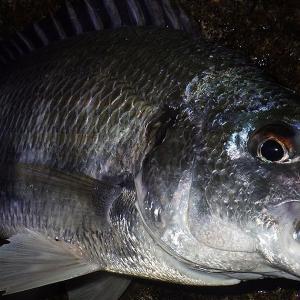 釣行 クロダイ91[ 湾奥 ] 2021年シーズンの初キビレをゲット