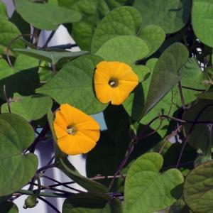 黄色い昼顔 Ipomoea obscura