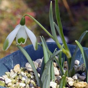 緑模様の外花被のスノードロップ Galanthus nivalis 'Viridipice'