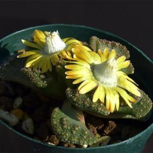 砂粒に紛れて生きる植物  Titanopsis calcarea