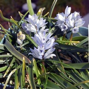 増えたベルバリア・ヒアキントイデス  Bellevalia hyacinthoides