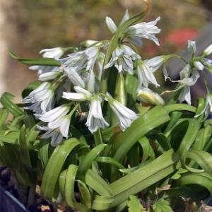 雑草化し始めているネギ  Allium triquetrum