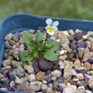 小さいビオラ  Viola kitaibeliana