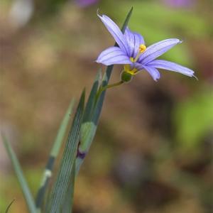 砂漠のシシリンチュウム  Sisyrinchium halophilum