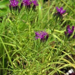 レターマンさんの鉄草  Vernonia lettermannii