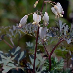 オレゴンのディケントラ  Dicentra formosa f. oregona