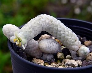 ニョロニョロの植物  Avonia papyracea