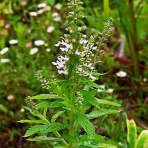 ニガクサ  Teucrium japonicum