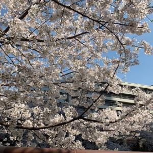2021年 中目黒の桜を見に行ってきました♪