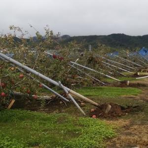 西箕輪のリンゴ園でボラ活動