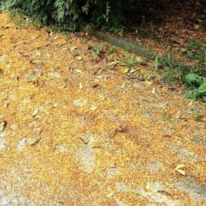 金木犀の絨毯
