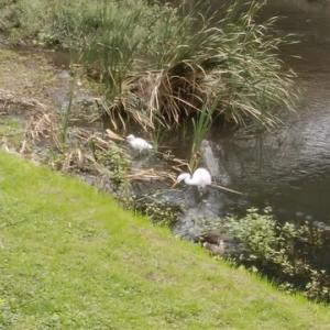 野川の白鷺