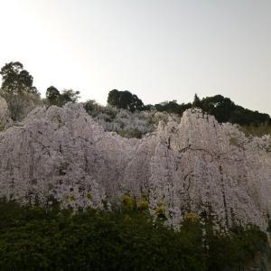 【桜めで鯛◇春真っ盛り鳴門&淡路島】