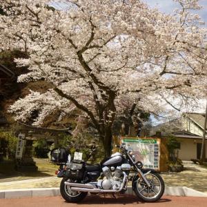 【桜咲き誇る笠置】