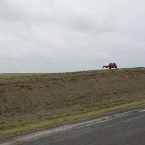 草原のラクダ