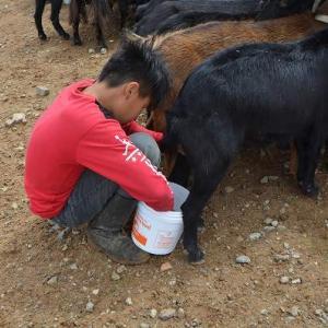 山羊乳搾り
