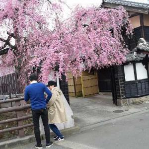老舗の古桜