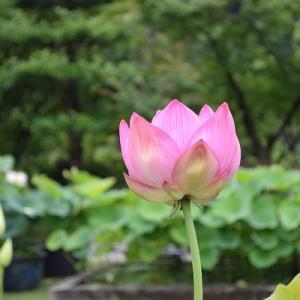 三室戸寺の花