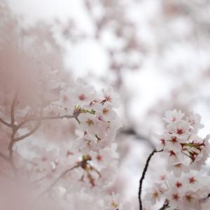 2021、桜と3ワン
