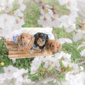 見上げるバージョン。桜と3ワン