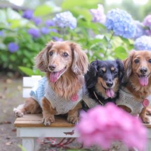 3ワンと紫陽花と。