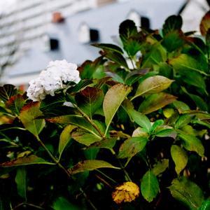 初冬の紫陽花と元カメラ店主との立ち話
