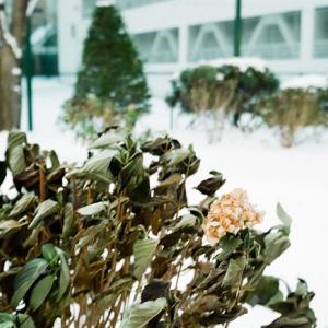 雪景色の枯れた紫陽花と最後の開花状態