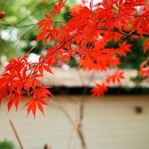 北海道には希少な大谷地神社のイロハモミジ