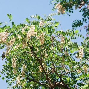 ニセアカシアの花と幹の樹皮