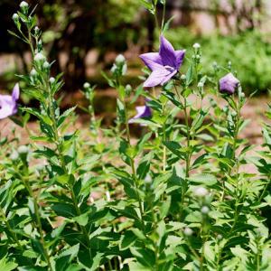 桔梗と紫陽花とレチナ改造および新型コロナの半年