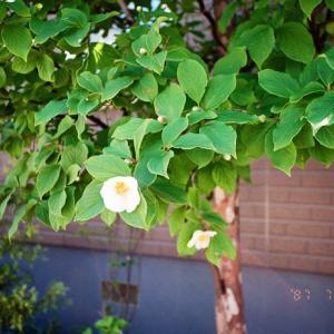 夏椿と酸性土壌の紫陽花とデータバックのリミット