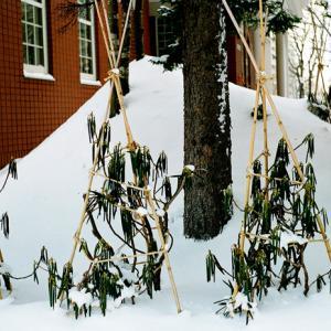 大寒の石楠花と初冬の石楠花