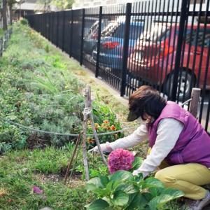 花壇ボランティアと秋桜のお庭