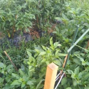 関東、東北で日照4割 前線停滞 作物管理に注意 果菜が品薄高