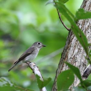 幼鳥と成鳥・・コサメビタキ