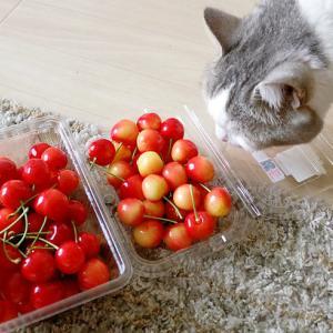 猫にさくらんぼを自慢する