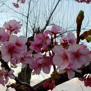 駿府城公園の早咲きのサクラが早くも見ごろに・・・・