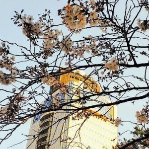 静岡のソメイヨシノが やっと(?)開花