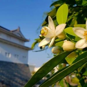 ミカンの花咲く城址