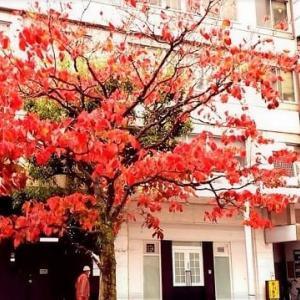 街路樹も紅葉