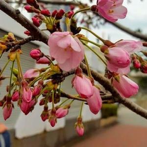 ジンダイアケボノザクラが咲き始めました