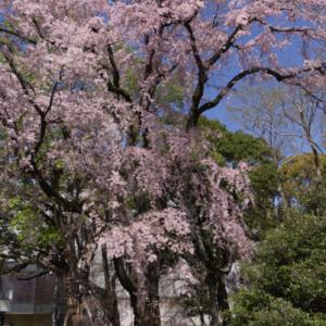 桜 2021-2