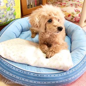 ニトリのクール犬ベット、使用1週間の使い心地と寝相は?