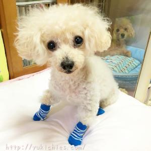 犬の靴下 100円ショップで買ってみたよ☆2020年続編(動画つき)
