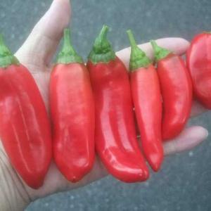 赤いパプリカのこれは間引きか収穫か微妙