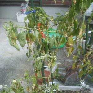 赤いパプリカ冬の収穫はどう?