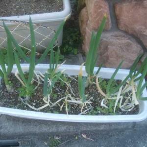 春なので新しいネギを植えましょう