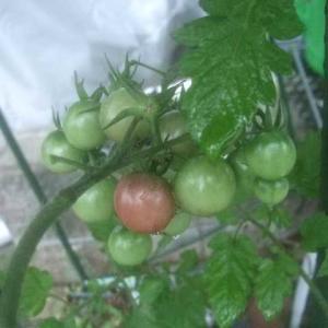 長雨とミニトマト