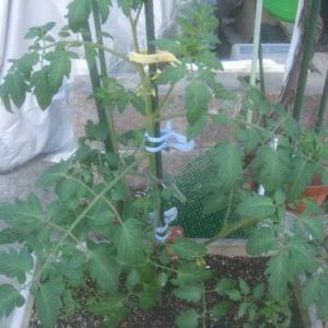 中玉トマトに果実と芽かき